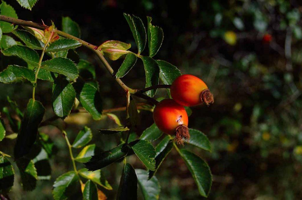 Image d'un arbuste fruitier = Goji (Lycium barbarum)