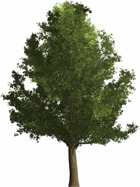 Image d'un L'arbre aux quarante écus (ginkgo biloba)