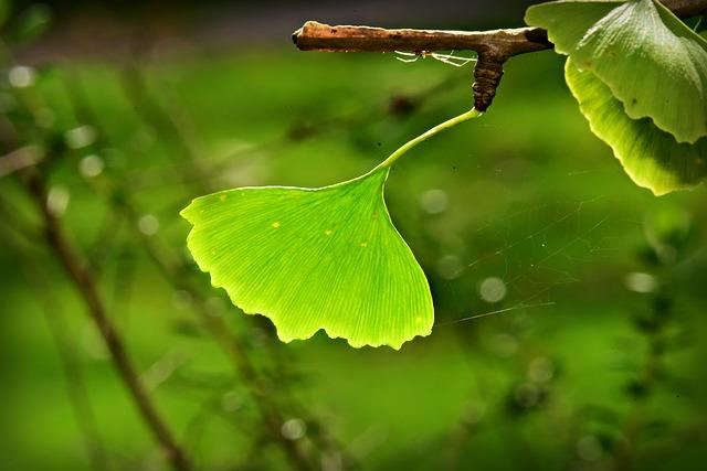 Des feuilles de Ginkgo biloba