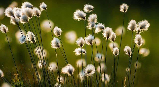 fleurs de cotons