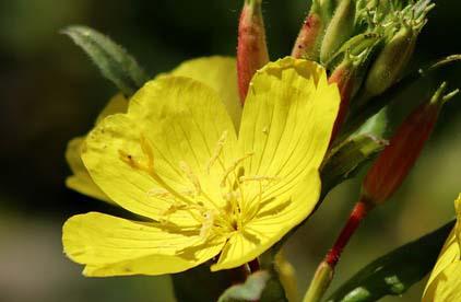 photo d'une plante d'onagre