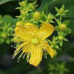 une plante de millepertuis