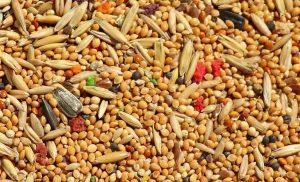 Céréale de millet